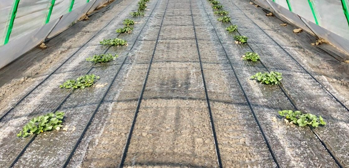 Foto pacciamatura trasparente con sotto ali gocciolanti per irrigazione